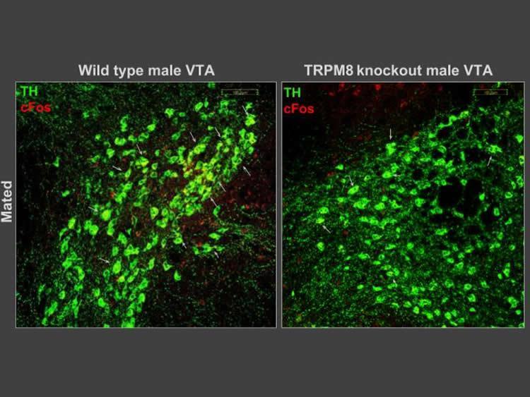 cerebro-VTA-trpm8-ratones